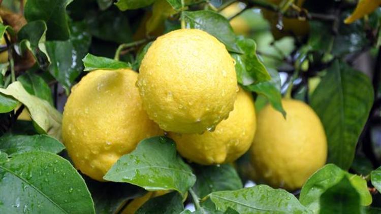 Limon Fiyatları Düşecekmi